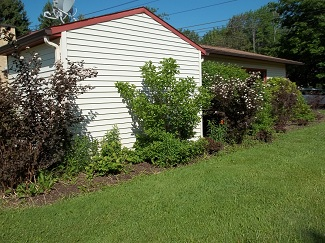 Overgrown shrubs-before, Alfred, NY