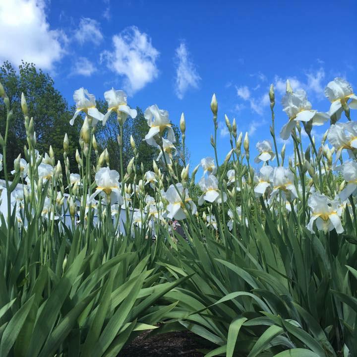 White Bearded Iris Landscape Bed in Bloom